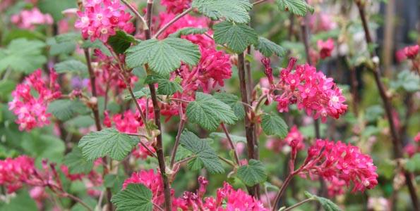 Groseillier à fleurs (Ribes)