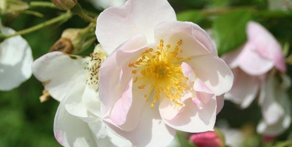 Rosiers à fleurs d'églantines