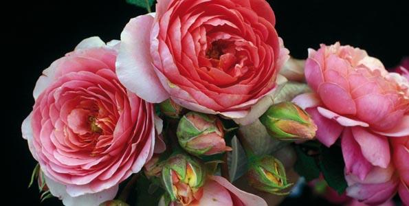 Rosiers Polyantha fleurs groupées