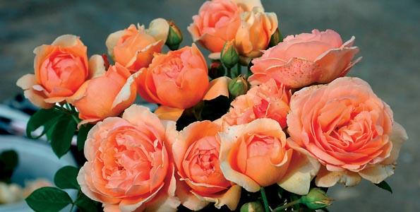 Rosiers Thé (grandes fleurs)
