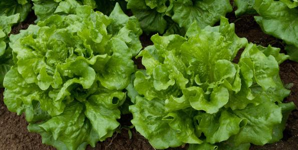 Graines de Salades de A à Z