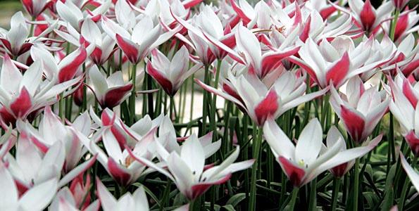 Tulipes botaniques
