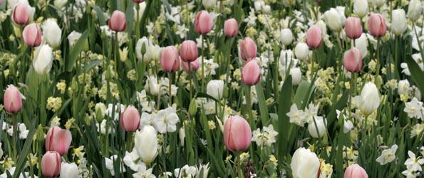 Tulipes de A à Z