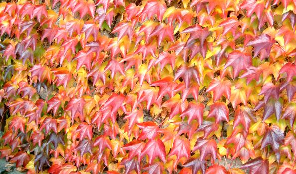 Vigne vierge plante grimpante aux couleurs flamboyantes en automne - Vigne vierge feuillage persistant ...