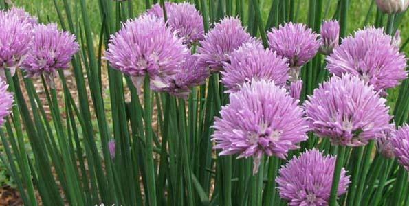plantes vivaces aromatiques certains seront utilis s au potager comme condimen. Black Bedroom Furniture Sets. Home Design Ideas