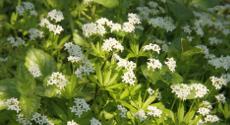Les plantes vivaces couvre sol pour viter le d sherbage et des crins pour vos for Comarbuste couvre sol croissance rapide