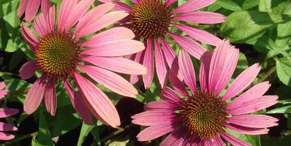 Vivaces à floraison tardive