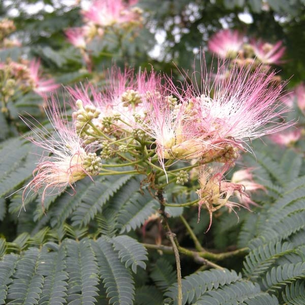 Albizia jul.Summer chocolate, arbre de soie