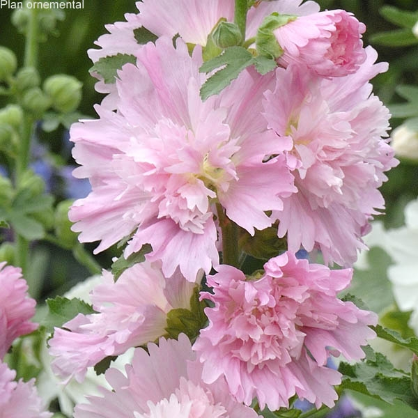 Alcea rosea (rose tr�mi�re) Spring Celebrities Pink