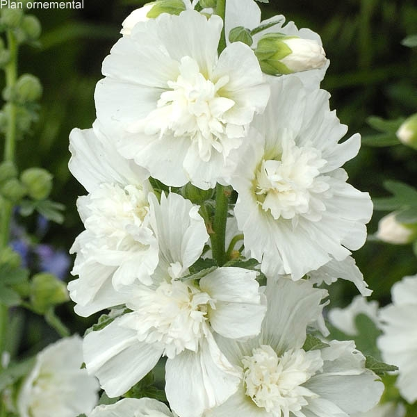 Alcea rosea (rose tr�mi�re) Spring Celebrities White