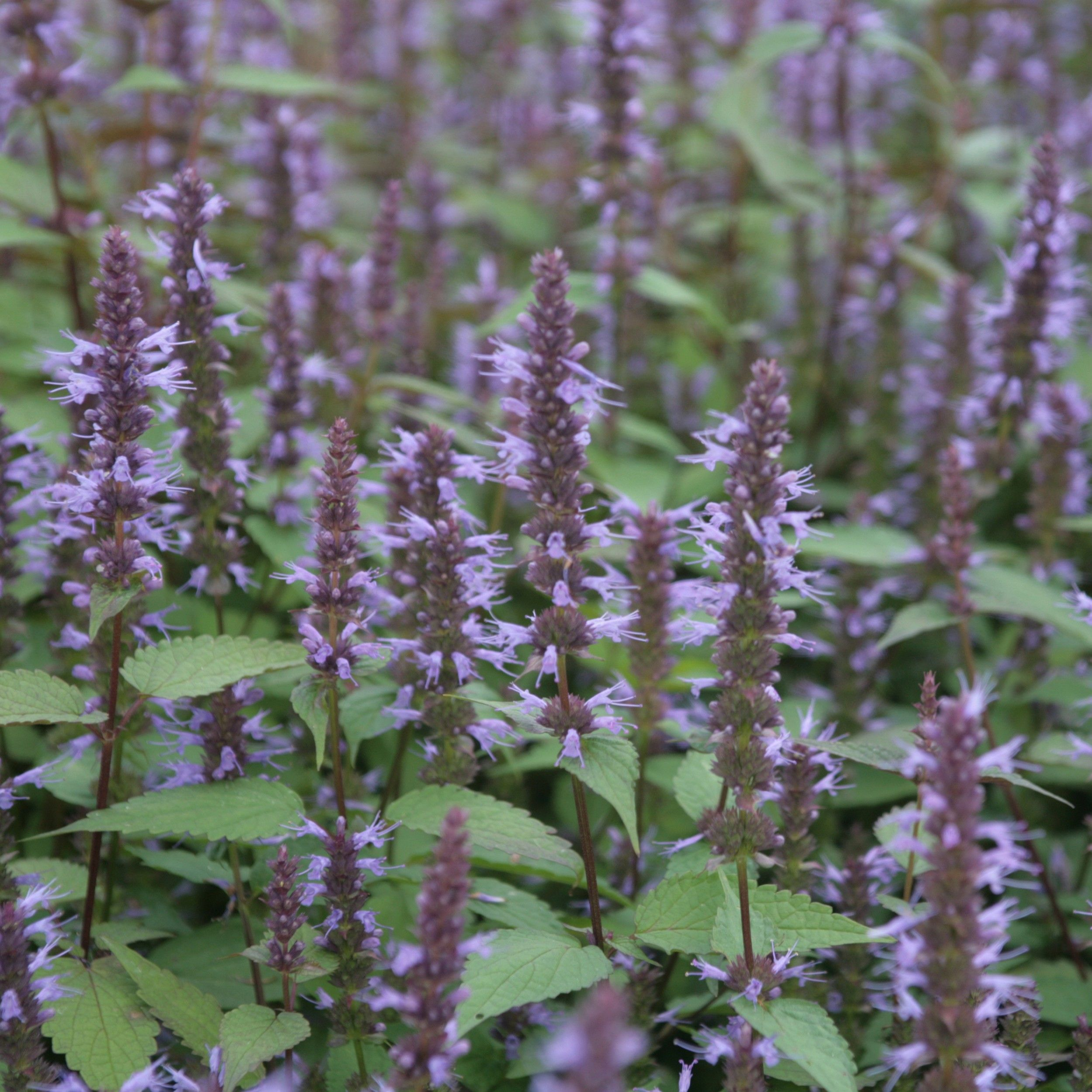 Agastache After Eight - Agastache rugueuse