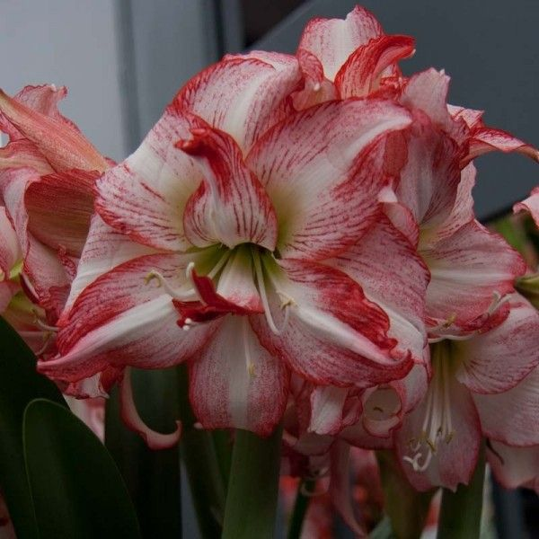 Amaryllis Double Record