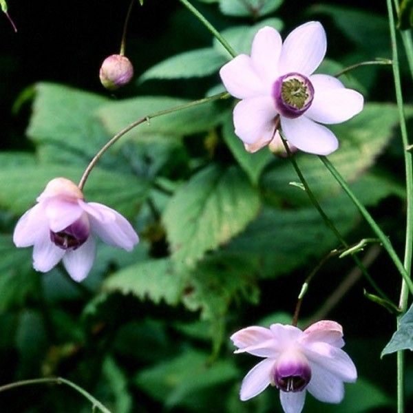 Anemonopsis macrophylla - Fausse anémone