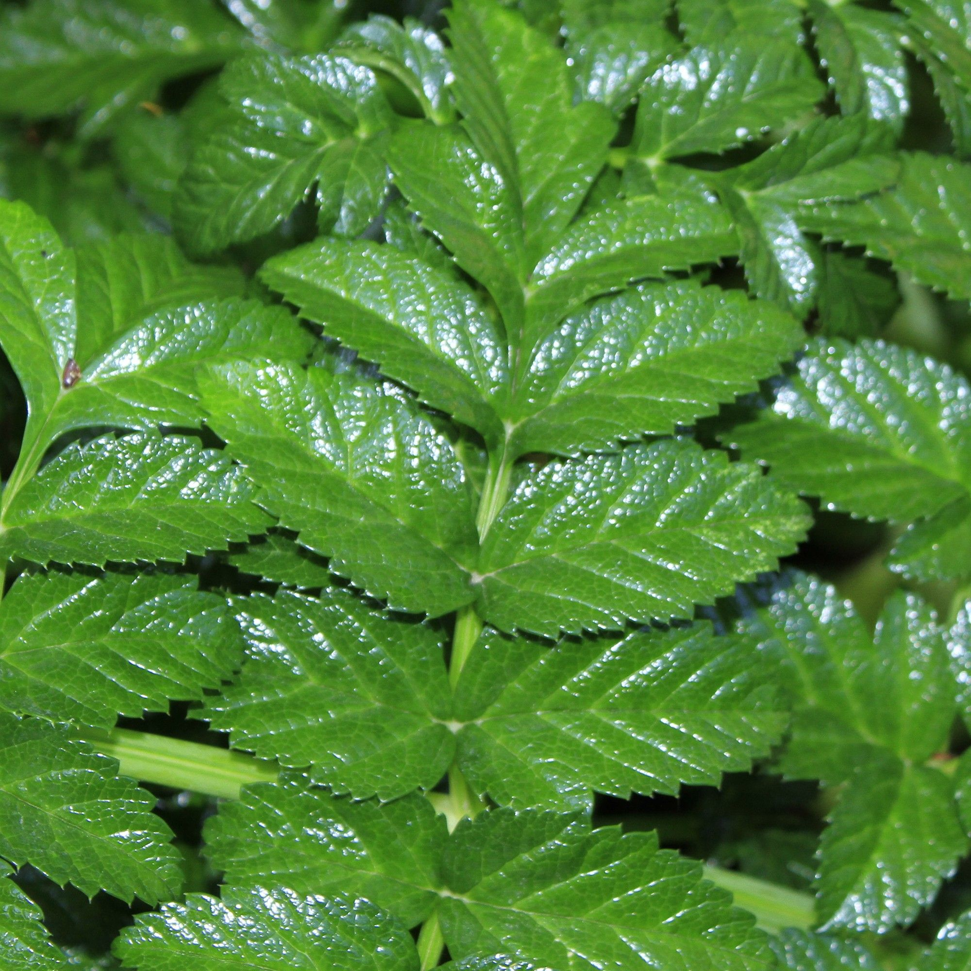 Angelique, Angelica pachycarpa