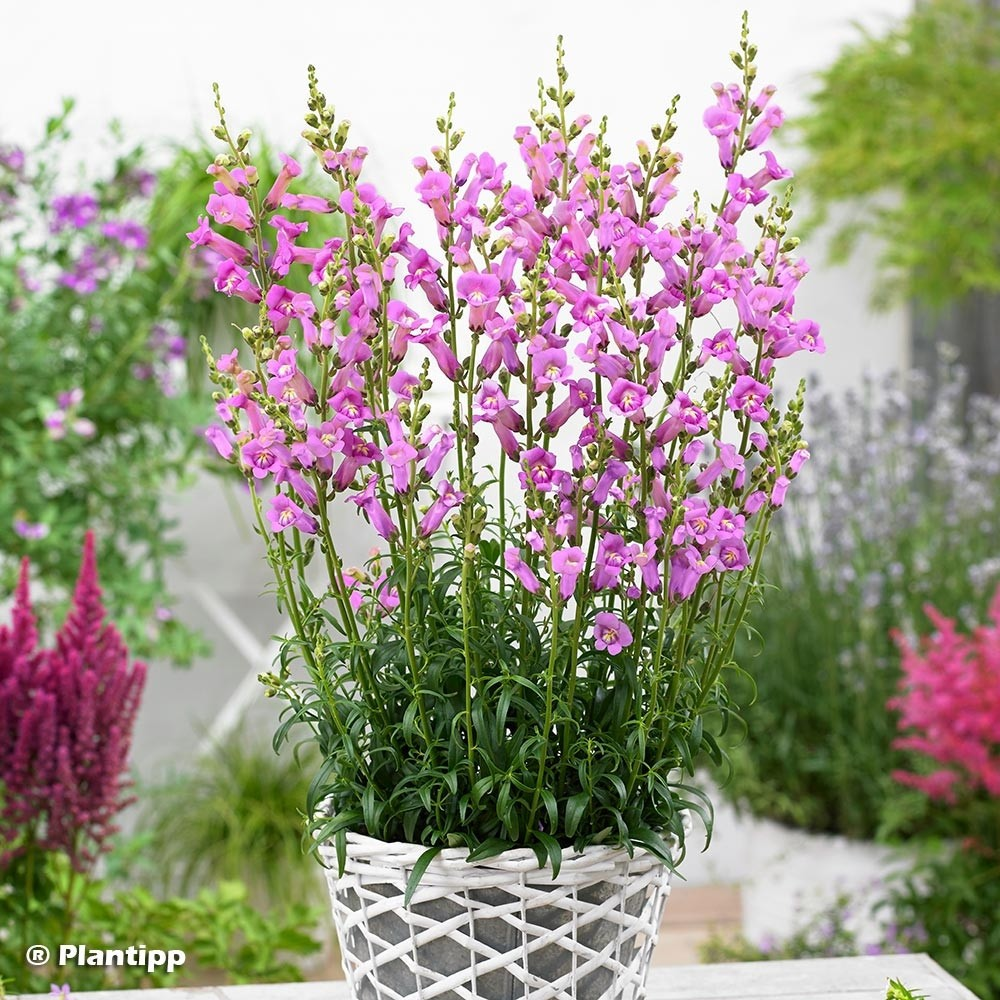 Antirrhinum majus Pretty in Pink® - Muflier.