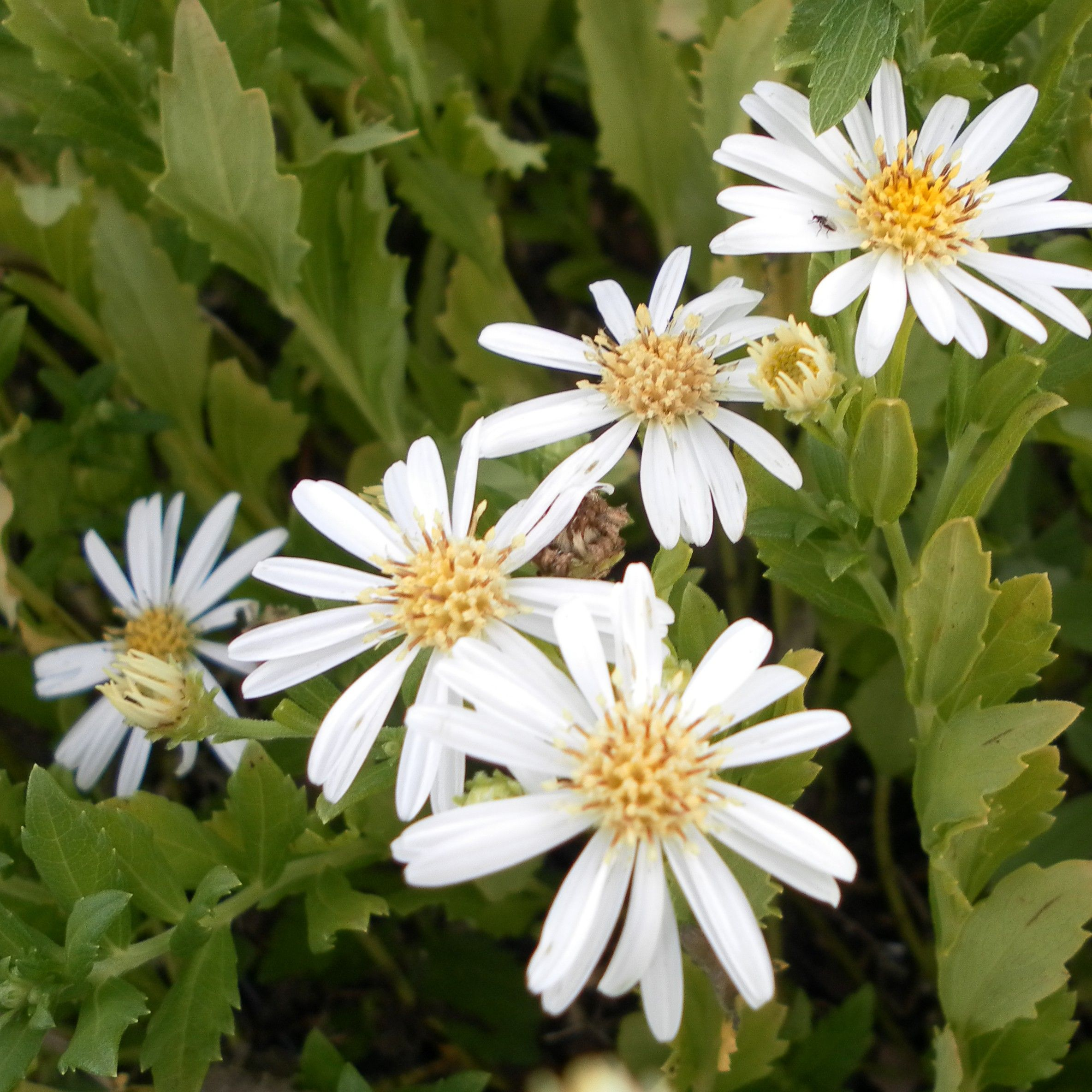 Aster ageratoides Ashvi - Aster d'automne blanc