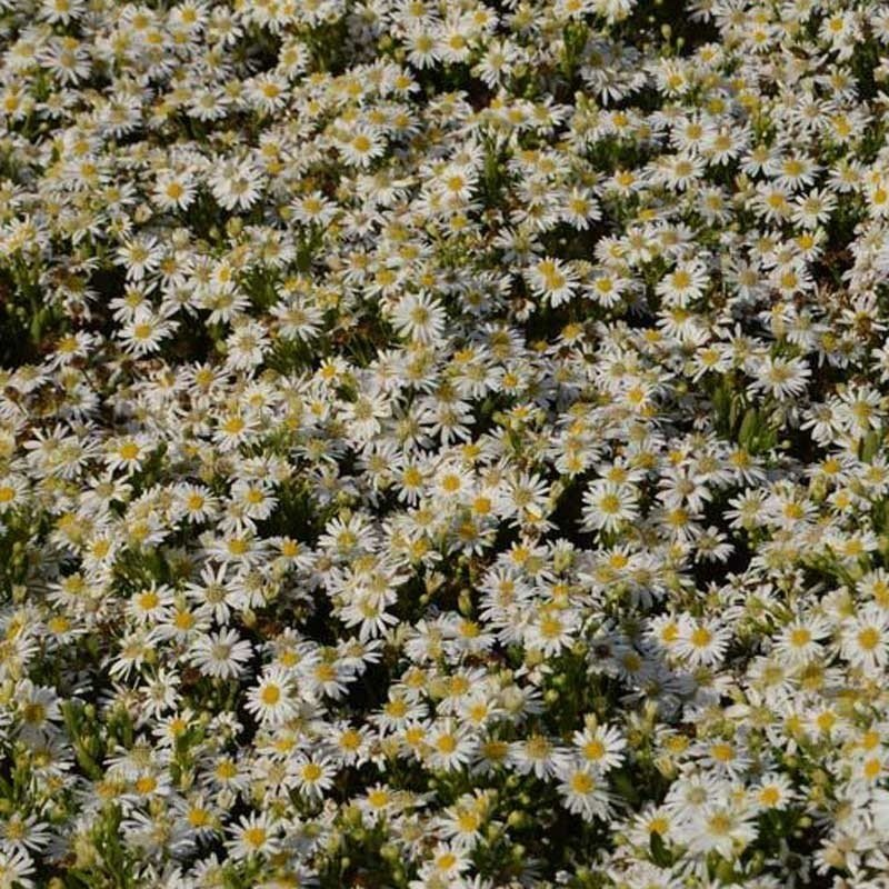 Aster ageratoides Starshine - Aster d'automne