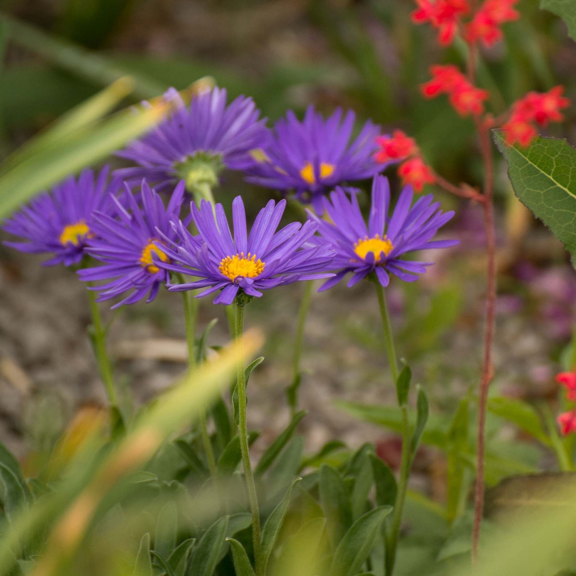 Aster alpinus Blue Beauty - Aster des Alpes bleu clair