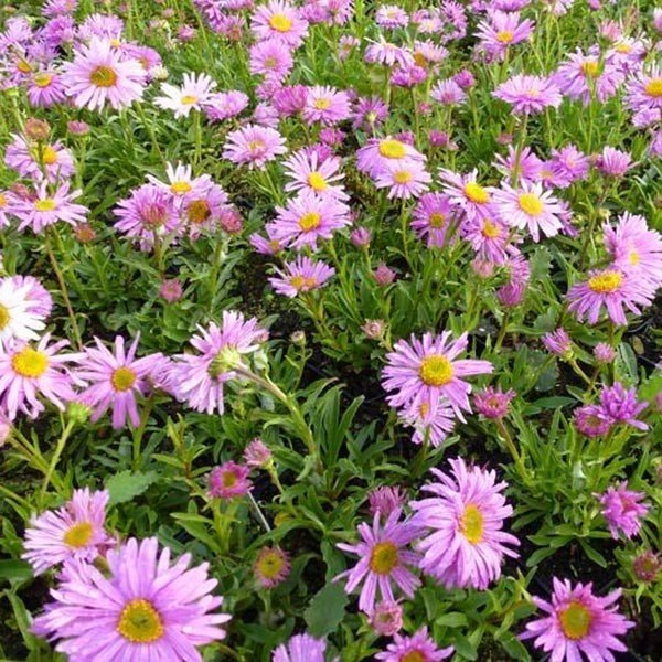 Aster alpinus Happy End - Aster des Alpes rose