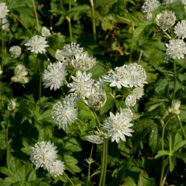 Astrance - Astrantia major Super Star