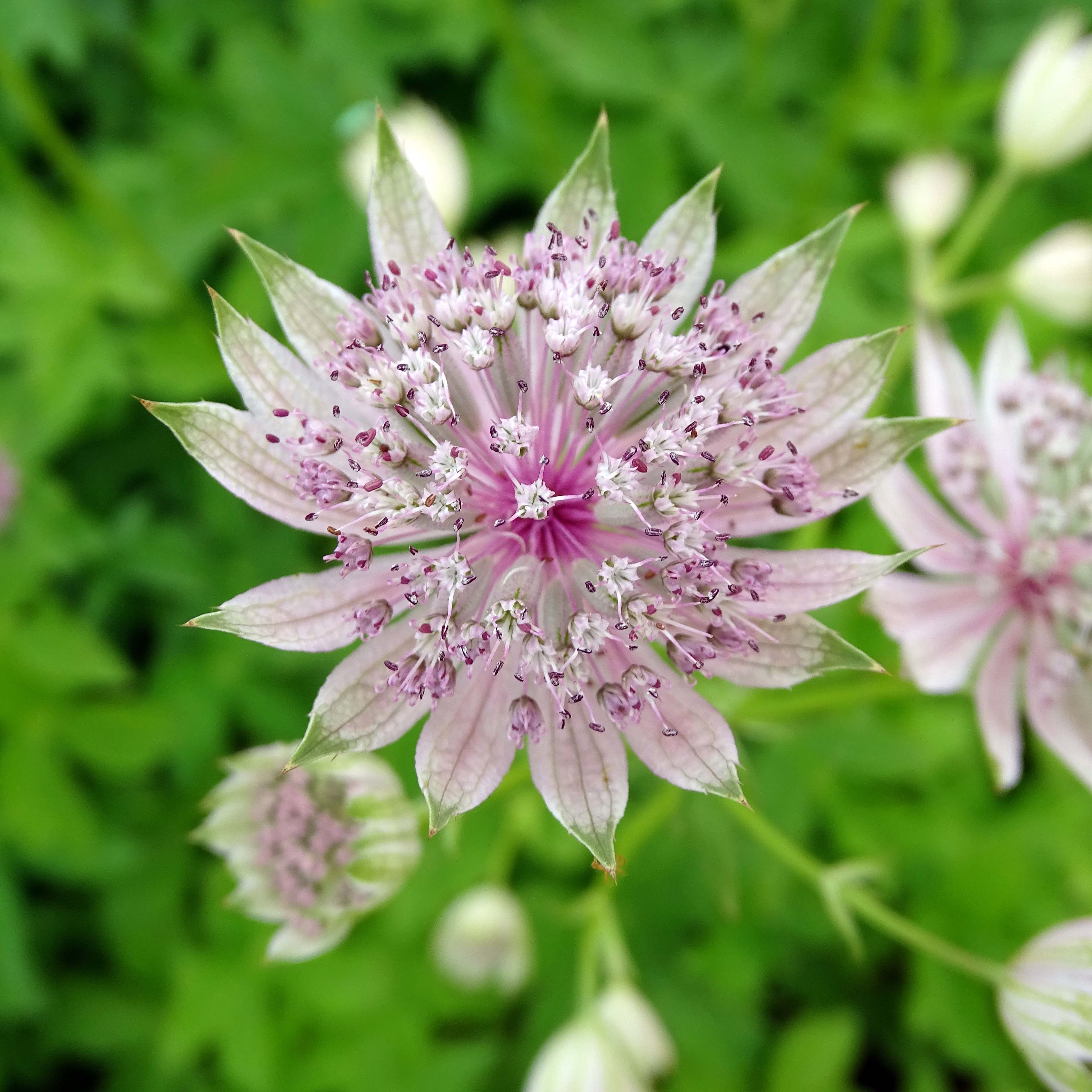 Astrance - Astrantia major Pink Sensation