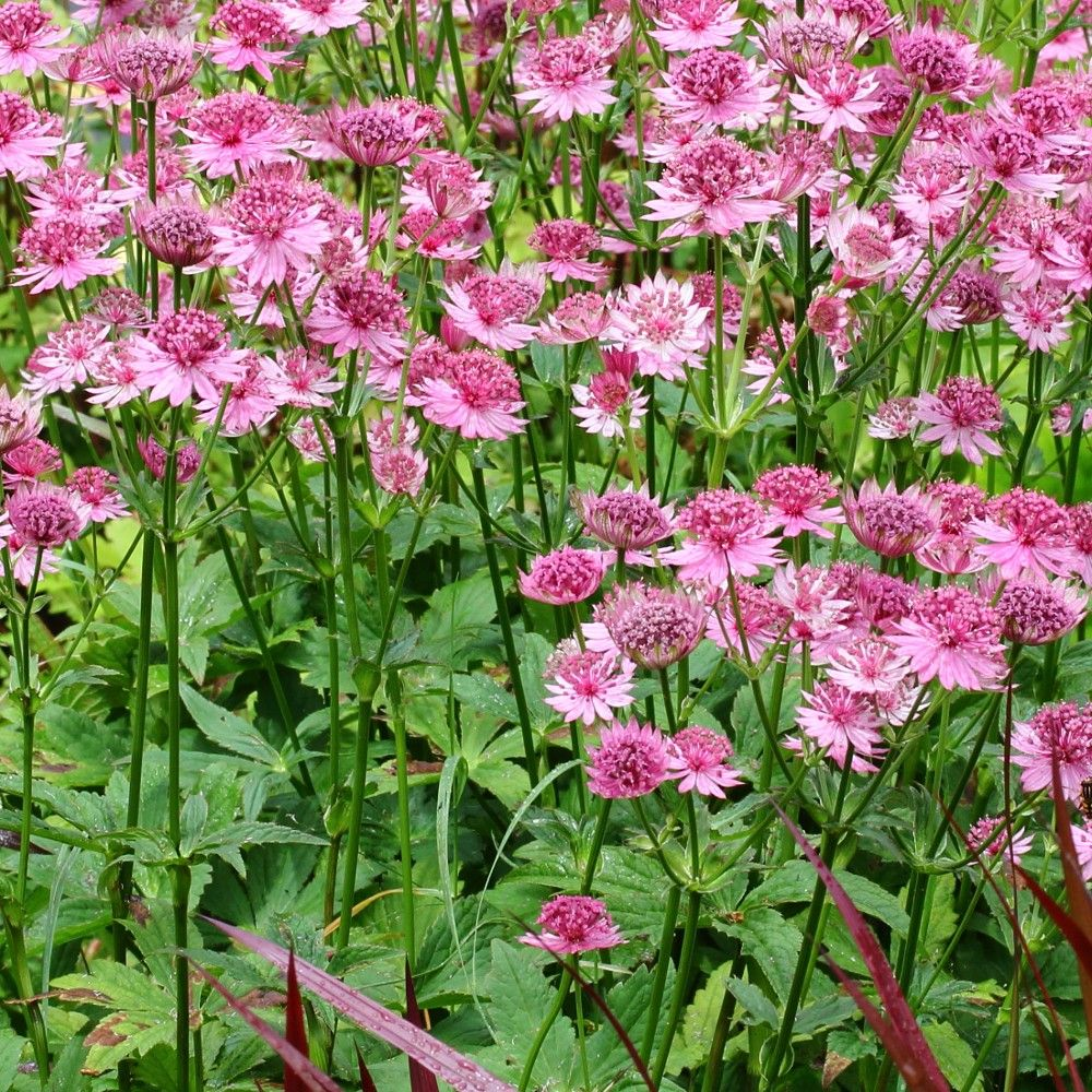 Astrance, Astrantia major Rosensinfonie
