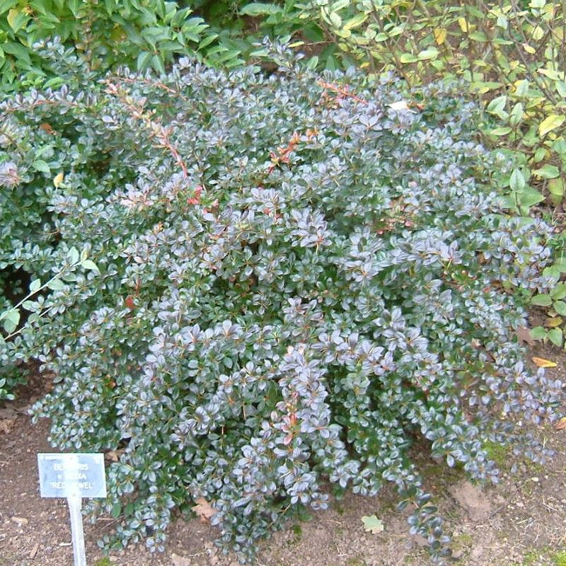 Berberis media Red Jewel - Epine-vinette