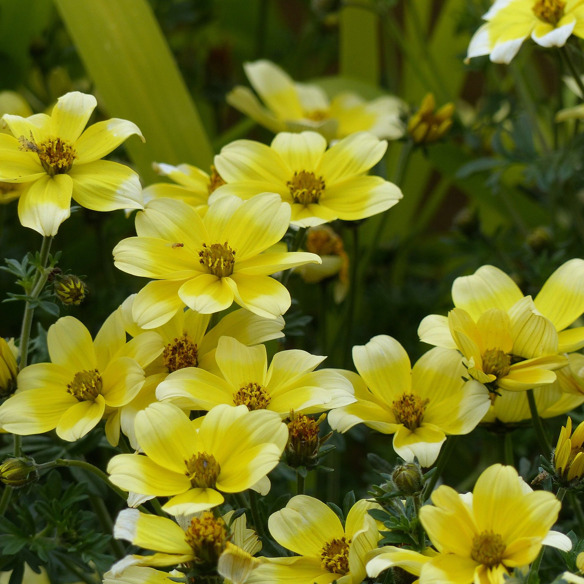 Bidens bicolore Lemon Moon