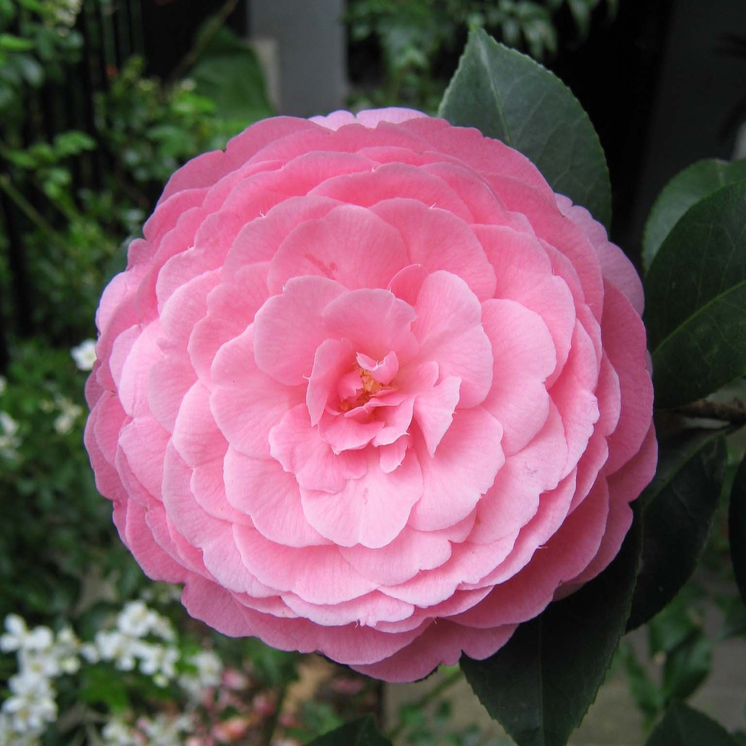 Camélia EG Waterhouse - Camellia (x) williamsii