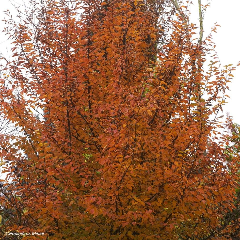 Carpinus betulus Orange Retz - Charme commun