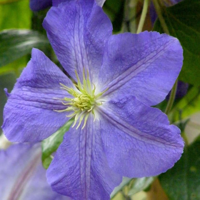 Clematite Jenny - Clematis