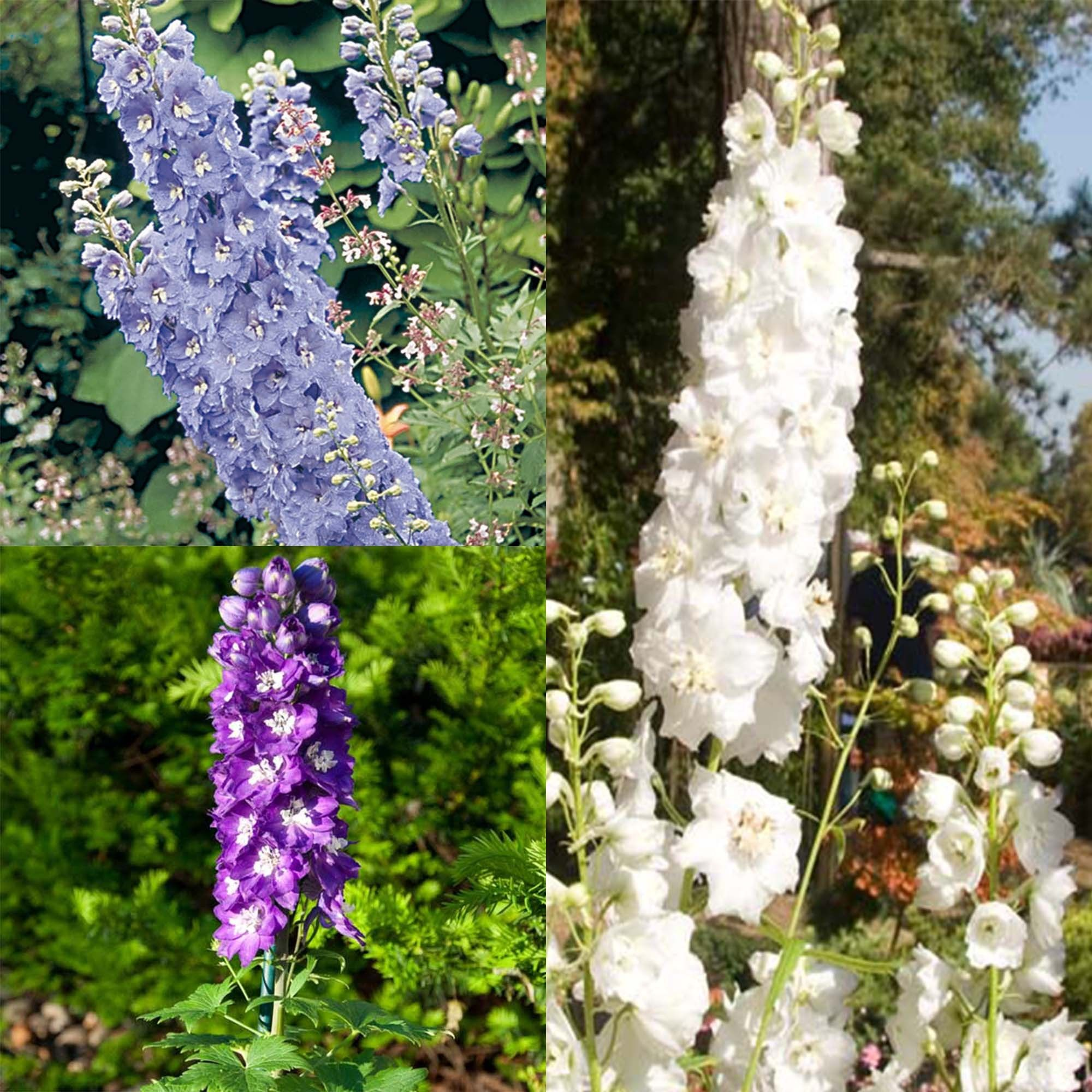 Collection 3 Delphiniums
