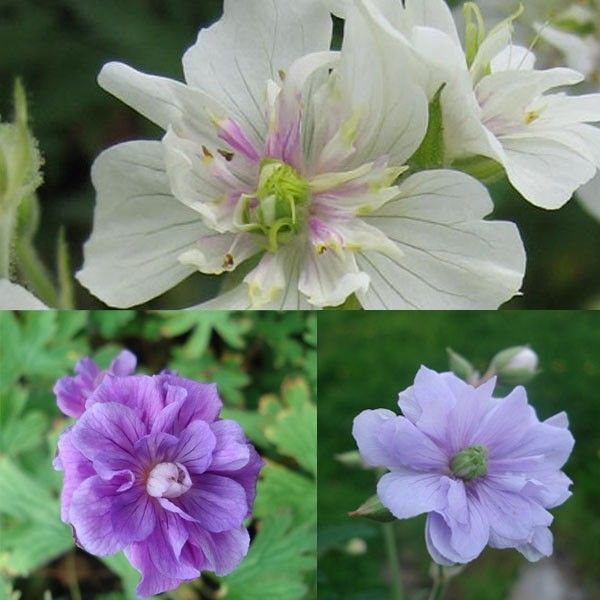 Collection Geraniums Doubles