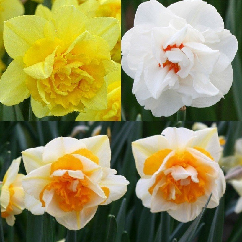 Collection narcisses doubles