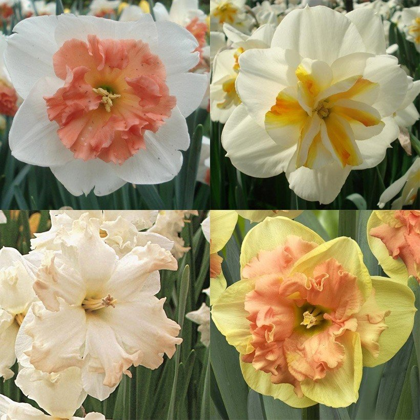 Collection Narcisses Papillons