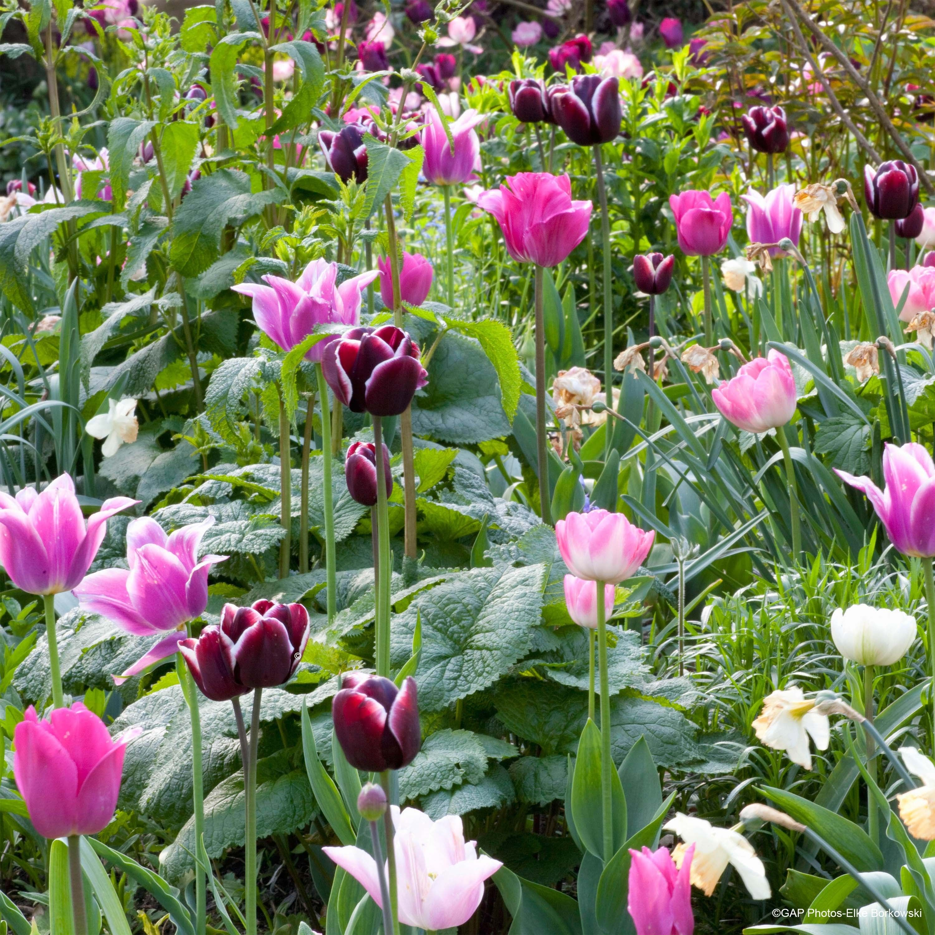 Collection Tulipes Naturelles