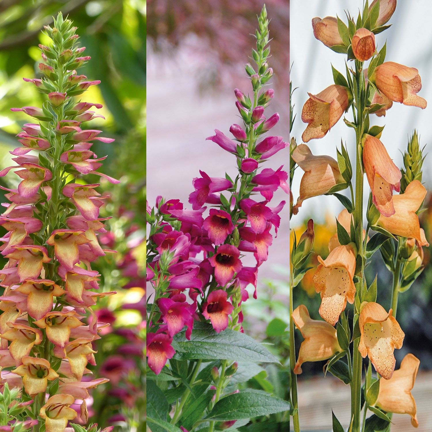 Collection de 3 Digiplexis Illumination - Digitalis hybrides