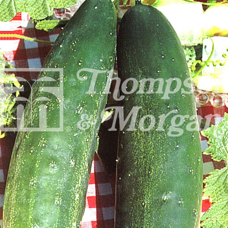 Concombre Burpless Tasty Green - Cucumis sativus