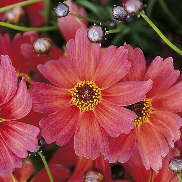 Coreopsis Rum Punch