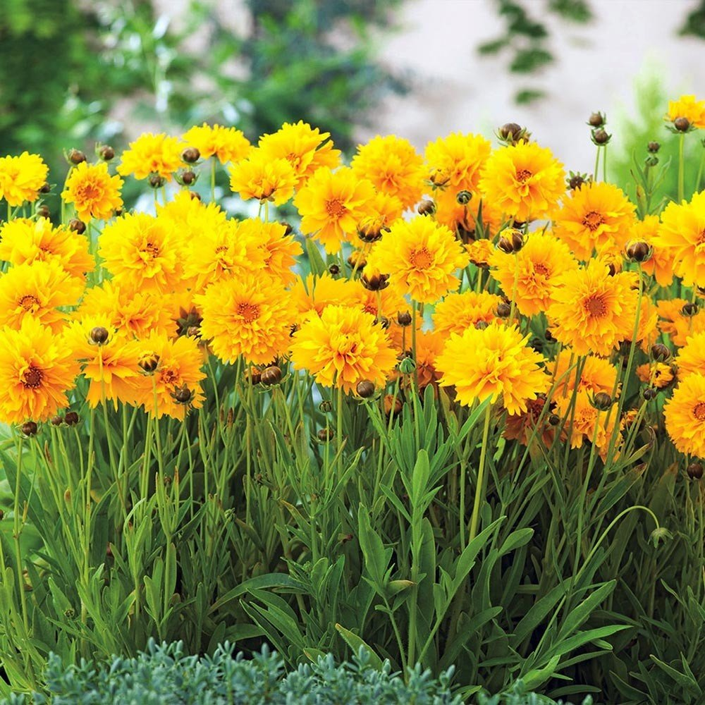 Coreopsis à grandes fleurs Badengold - Coreopsis grandiflora Badengold
