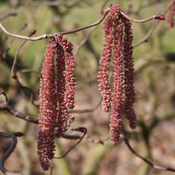 Noisetier tortueux pourpre - Corylus avellana Red Majestic