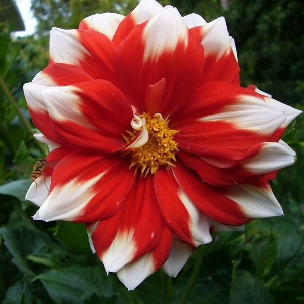 Dahlia paysage Fire and Ice