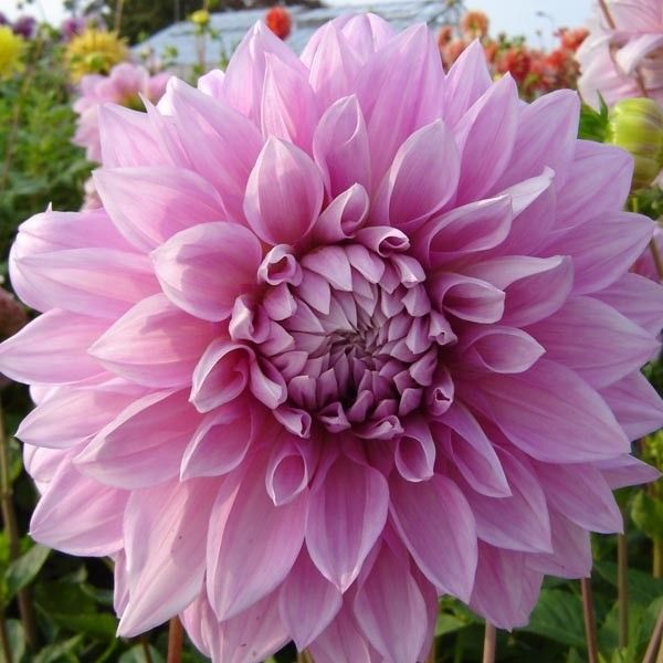Dahlia géant Lavender Perfection