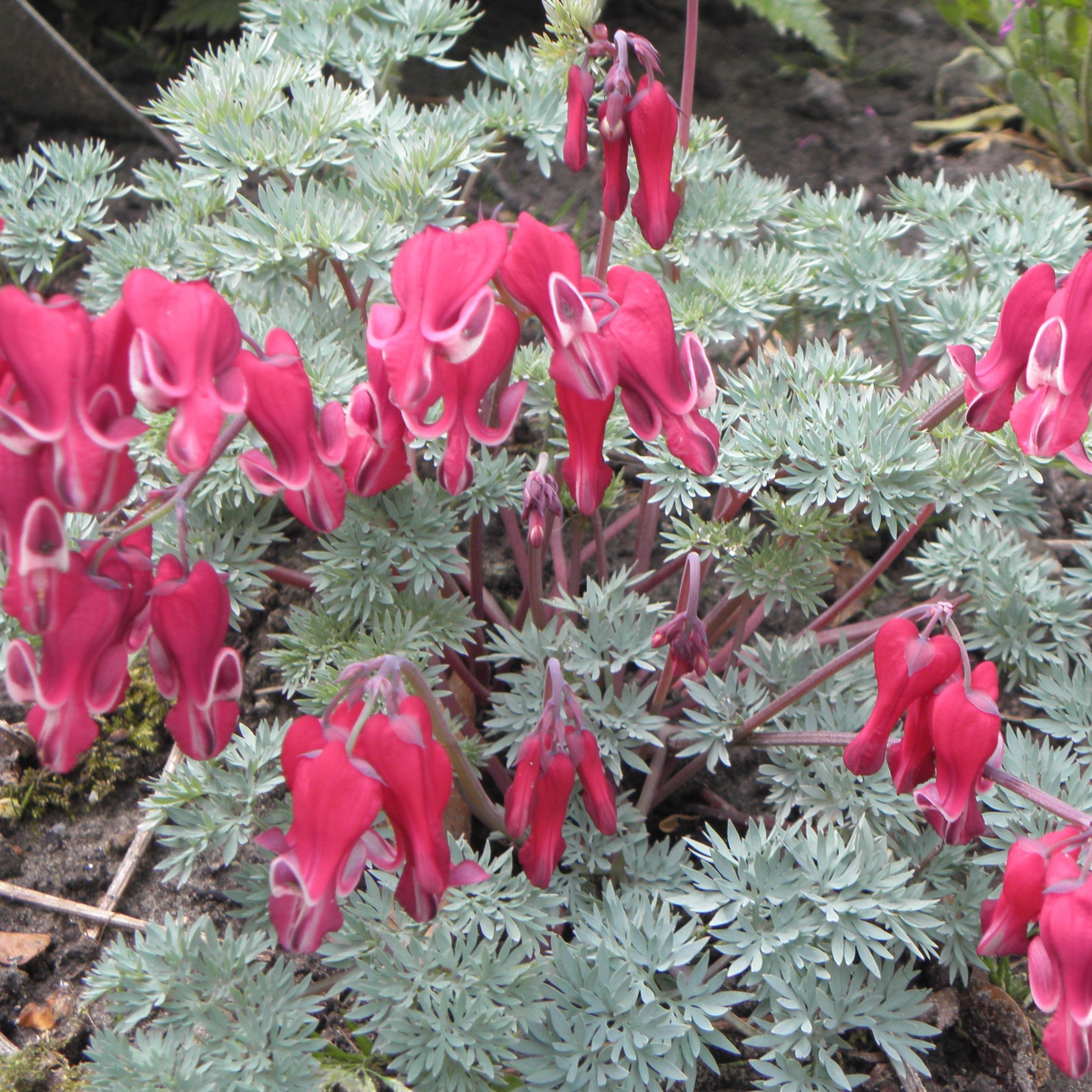 Coeur de Marie rouge - Dicentra Burning Hearts®