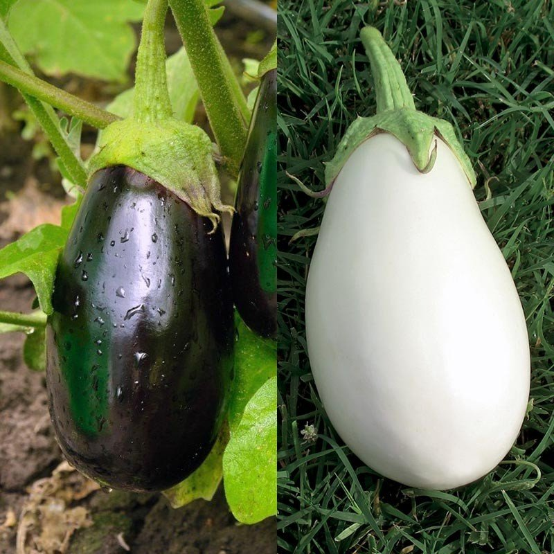 Collection duo de 2 aubergines greffées