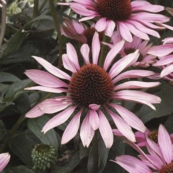 Rudbeckia ou Echinacea purpurea The King