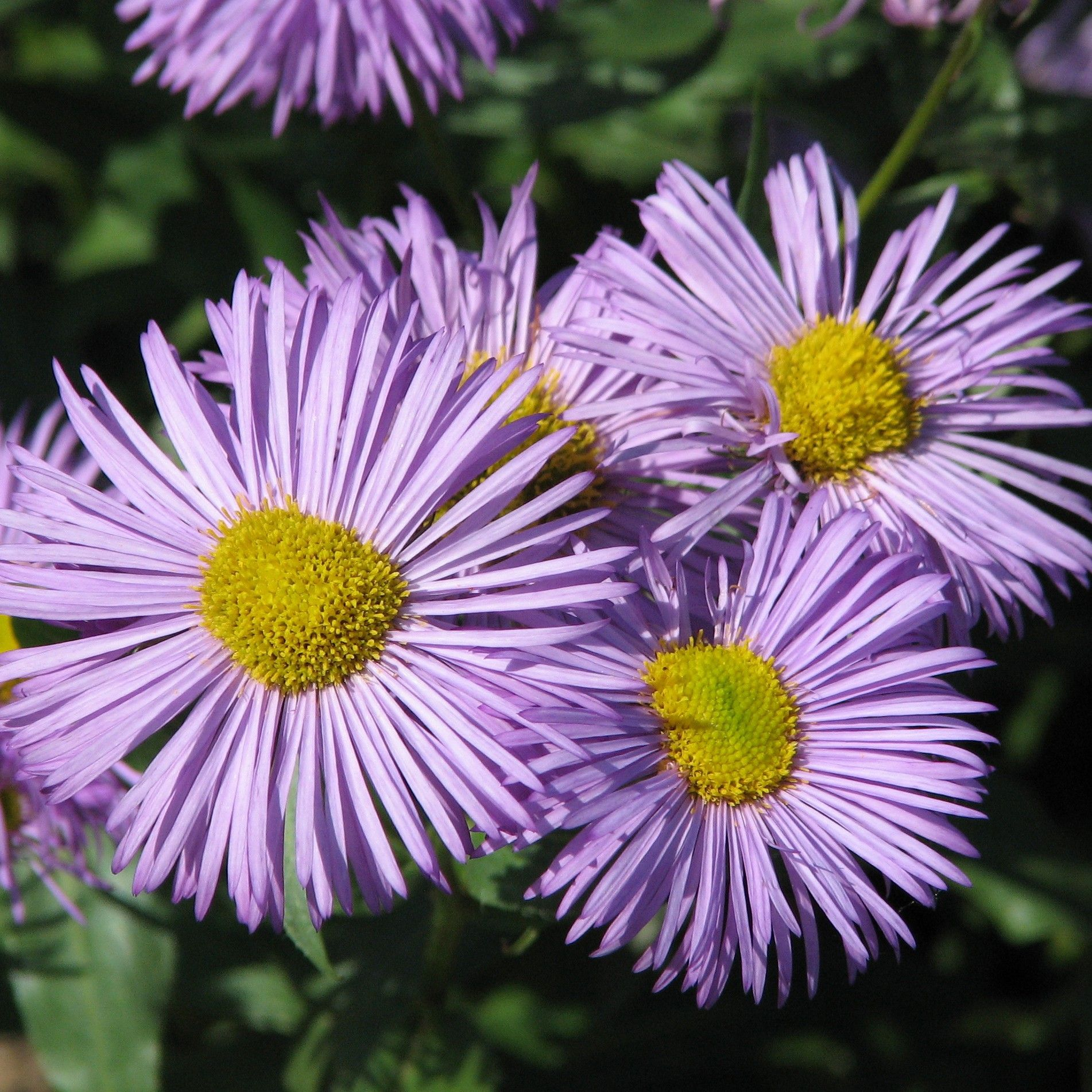 Erigeron Azure Beauty - Vergerette