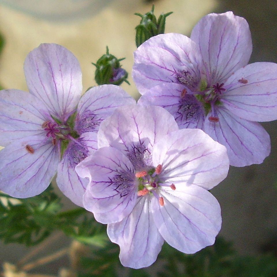 Erodium Stephanie