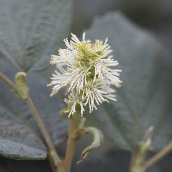 Fothergilla intermedia Blue Shadow
