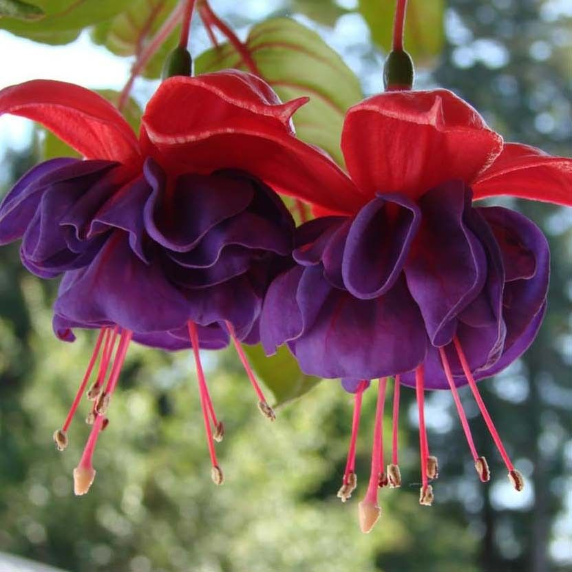 Fuchsia retombant Dark Eyes